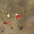 写真: 2008.12.23 みなとみらい 運河に落葉