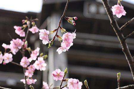 2009.02.28 笠森観音 観音堂 河津桜