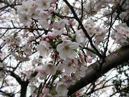 2009.04.04 染井吉野-1