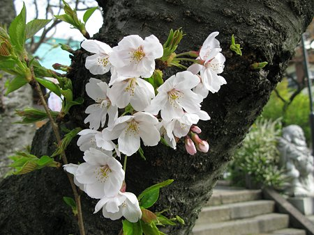 2009.04.04 染井吉野