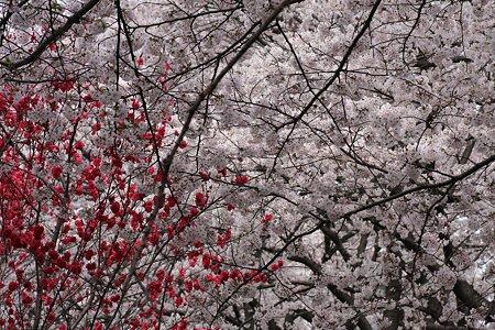 2009.04.05 引地川・千本桜にハナモモ