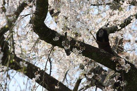 2009.04.07 招太寺 枝垂桜 ツグミ