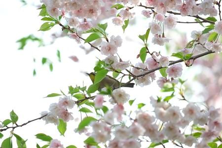 2014.04.14 和泉川 サクラにメジロ