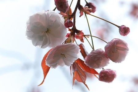 2014.04.14 和泉川 ヤエザクラ
