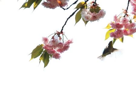 2014.04.25 和泉川 ヤエザクラにメジロ