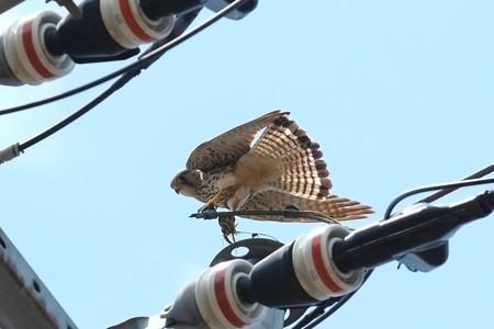 2014.04.28 追分市民の森 電柱でチョウゲンボウ 獲物はトカゲ