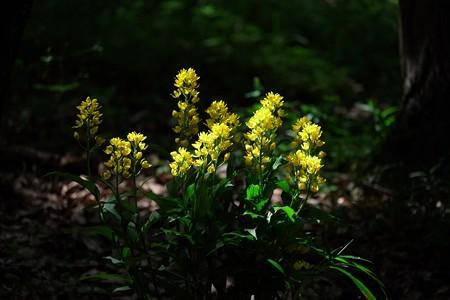 2014.05.04 瀬谷市民の森 キンラン 朝日