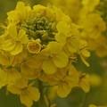 写真: 菜の花~Fantasy・・4