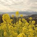 写真: 菜の花~Fantasy・・10