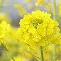 写真: 菜の花~Fantasy・・14