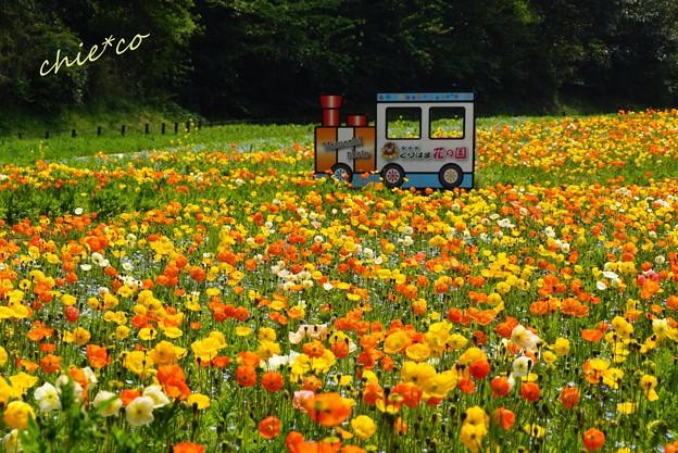 くりはま花の国-241