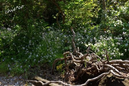 流木と・・群れ咲くハマダイコン・・