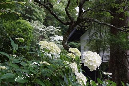 白の重なり・・山法師と・・紫陽花と・・