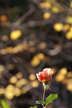 暖色が重なって・・・薔薇1輪・・♪