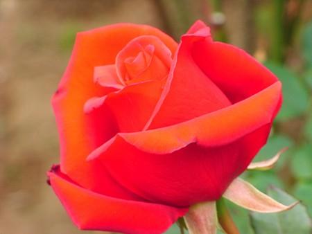初冬に咲く・・鮮やかな紅 鎌倉文学館にて・・・
