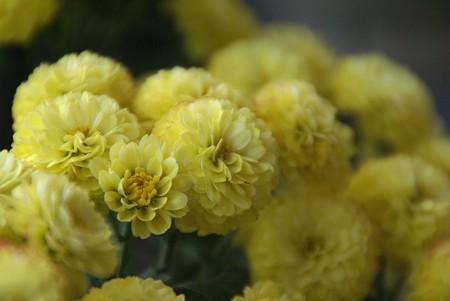 黄色のボンボン・・小菊・・・