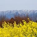 写真: 菜の花と・・山と・・ 吾妻山にて・・