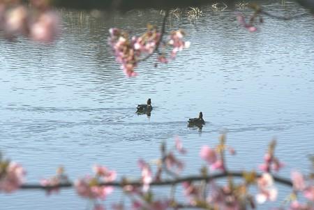 桜と・・鴨のいる風景~♪
