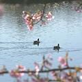写真: 桜と・・鴨のいる風景~♪
