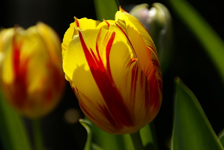 My Tulips...