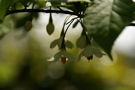 可憐~エゴノキの花・・♪