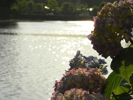 初々しい紫陽花と・・お濠~♪