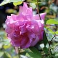 Photos: 優しい薔薇