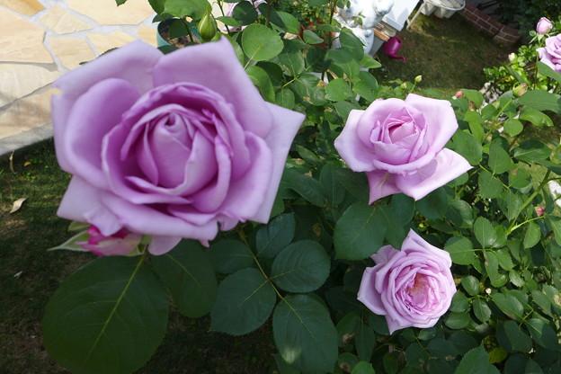 薔薇の画像 p1_39