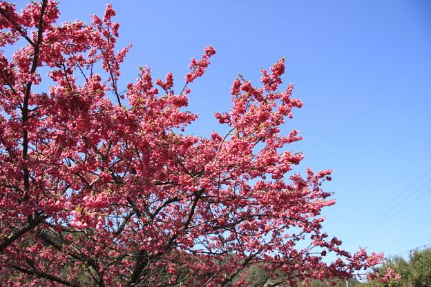 緋寒桜が満開です
