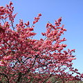 写真: 緋寒桜が満開です