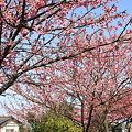 写真: 緋寒桜