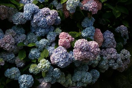 鎌倉の紫陽花0614tk