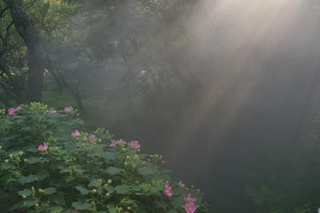 芙蓉の花に陽が射す。0913s