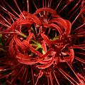 Photos: 曼珠沙華の花。スパイダーリリーですね!0920g