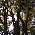 写真: 黄葉の木都内1113b