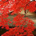 Photos: 真赤に燃えるモミジ、昭和記念公園。(11/15)