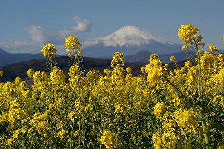 菜の花と富士山0103f