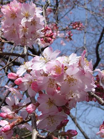 紅枝垂れ桜0319a