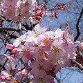 Photos: 紅枝垂れ桜が咲き始め!(3/19)