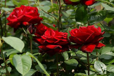 真紅のバラ0517tk