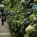 Photos: 鎌倉/成就院の紫陽花が見頃0607