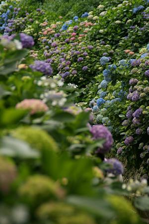 紫陽花の彩り0607ta