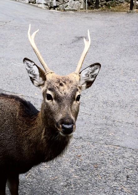金華山国定公園の神鹿-2-058
