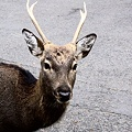 Photos: 金華山国定公園の神鹿-2-058