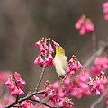 写真: 090222メジロと寒緋桜(2/2)