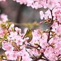 写真: 090304メジロと河津桜1