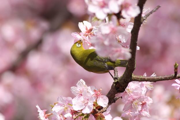 写真: 090305メジロと河津桜3