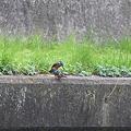 写真: 090328カワセミの交尾(7/10)