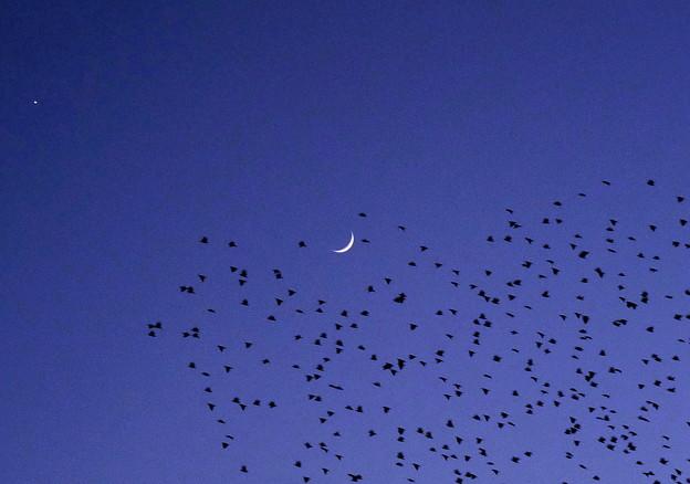 月と一番星&ムクドリ P1150895b