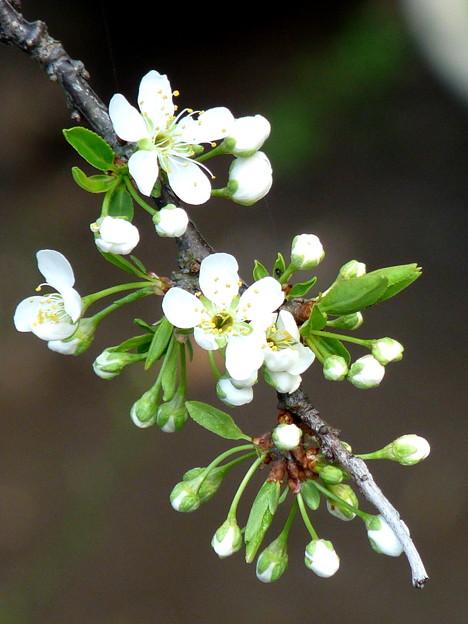 プラムの白い花咲いたよ! P1290374